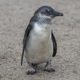 一只小非洲企鹅的画象在沙子,德国的 图库摄影