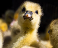 一只小鸭子小鸡的头 免版税库存照片