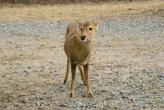一只小鹿 库存照片