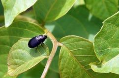 一只小黑甲虫 免版税图库摄影