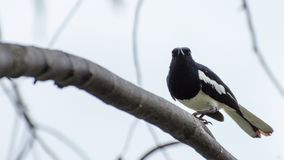 一只小黑鸟在分支说谎 库存图片