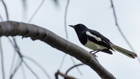 一只小黑鸟在分支说谎 免版税库存照片