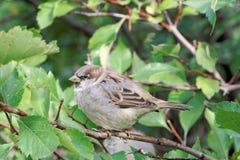 一只小,傲慢鸟是在灌木的分支的一只麻雀与绿色叶子的 图库摄影
