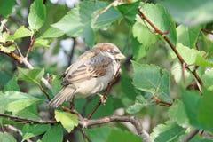 一只小,傲慢鸟是在灌木的分支的一只麻雀与绿色叶子的 库存照片