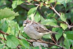 一只小,傲慢鸟是在灌木的分支的一只麻雀与绿色叶子的 免版税图库摄影