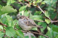 一只小,傲慢鸟是在灌木的分支的一只麻雀与绿色叶子的 免版税库存照片