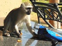一只小猴子吃在桌上的芯片 库存图片