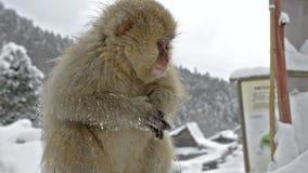 一只小婴孩雪猴子坐一个木岗位, Jigokudani,长野,日本 股票录像