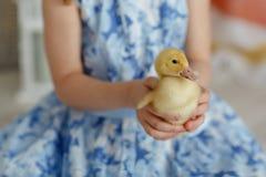 一只小黄色鸭子在女孩的胳膊坐bl 免版税库存照片