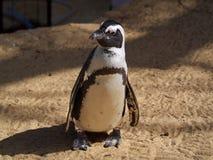 一只小Magellanic企鹅,与在他的腹部和黑翼的胆怯在棕色地球背景 免版税库存照片