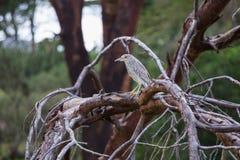 一只小Squacco苍鹭坐树枝 库存图片