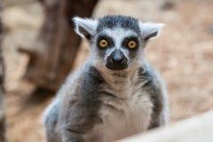 一只尾部有环纹的俘虏狐猴的特写镜头在家庭动物园里 免版税库存照片