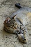 一只山猫的外形与说谎在汽车,在照片的左边猫下的黄色眼睛的 免版税库存图片