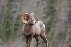 一只山绵羊 免版税库存图片