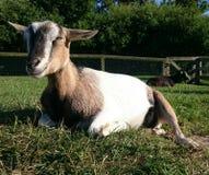 一只山羊在动物园里 免版税库存照片