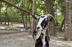 一只山羊在围场 免版税图库摄影
