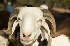 一只山羊在市场上在冈比亚 库存照片
