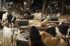 一只山羊在市场上在冈比亚 免版税库存图片