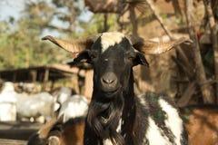 一只山羊在市场上在冈比亚 图库摄影