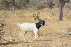 一只山羊在拉贾斯坦 免版税库存照片