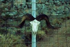 一只山羊的头骨在金属篱芭的 免版税库存照片