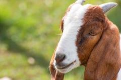 一只山羊的特写镜头画象在农场 库存图片