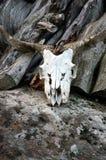 一只山羊的头骨在岩石的 免版税库存图片
