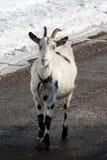 一只山羊 库存图片