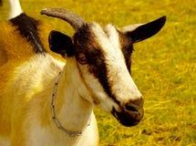 一只山羊 免版税库存图片