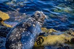 一只岩石的困斑海豹休息室 免版税库存图片