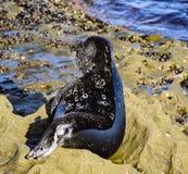 一只岩石的机警的斑海豹基于 免版税库存图片