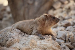 一只岩石非洲蹄兔的特写镜头在Ein Gedi,以色列 库存图片