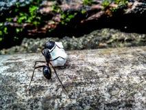 一只工作的蚂蚁 免版税库存照片