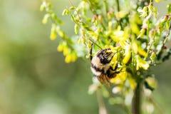 一只工作者蜂蜜蜂的宏指令与拷贝空间的 免版税库存图片