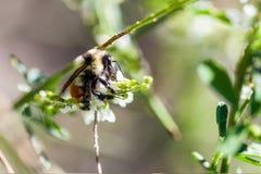 一只工作者蜂蜜蜂的宏指令与拷贝空间的 免版税库存照片