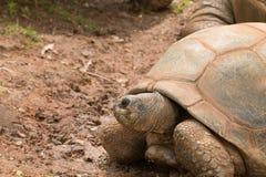 一只巨型乌龟 免版税图库摄影