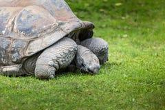 一只巨型加拉帕戈斯乌龟,加拉帕戈斯群岛,厄瓜多尔,南美 免版税库存照片