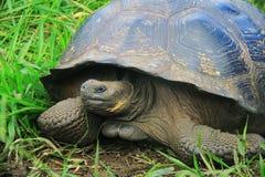 一只巨型加拉帕戈斯乌龟 免版税库存图片