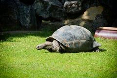 一只巨型加拉帕戈斯乌龟 图库摄影
