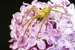 一只巨型大肥胖蜘蛛的特写镜头在一朵共同的丁香花的 免版税图库摄影