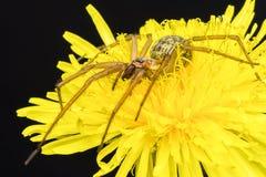 一只巨型大肥胖蜘蛛的特写镜头在一朵共同的丁香花的 免版税库存照片
