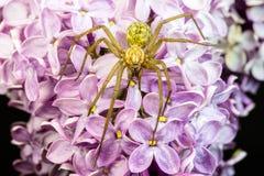 一只巨型大肥胖蜘蛛的特写镜头在一朵共同的丁香花的 库存图片