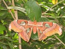 一只巨型热带蝴蝶的细节与大橙色翼的 免版税库存图片