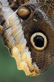 一只巨型猫头鹰蝴蝶的细节 库存图片