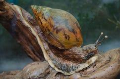 一只巨型非洲蜗牛Achatina Achatina 免版税库存图片