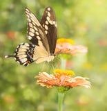 一只巨型Swallowtail蝴蝶的梦想的图象 免版税库存图片