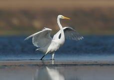 一只巨大白色苍鹭在大海站立 库存图片