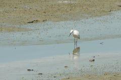 一只巨大白色苍鹭的画象 免版税库存照片