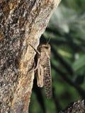 一只巨大的蚂蚱,与黑暗的样式的蝗虫褐色在它的翼,坐外皮石头反对绿草背景在a的 库存图片