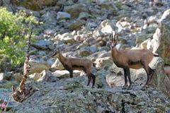 一只年轻羚羊和他的母亲在Ecrins国家公园 免版税库存图片
